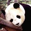Panda Bär Puzzle